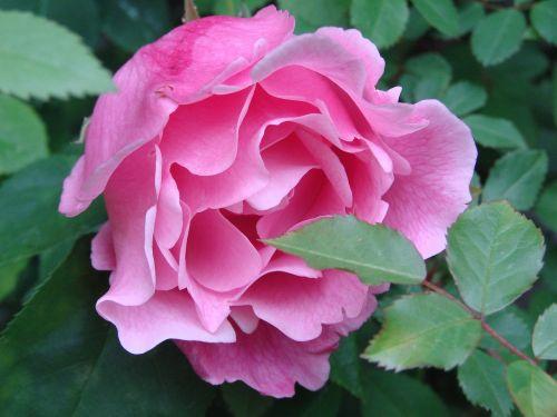 roses filled garden