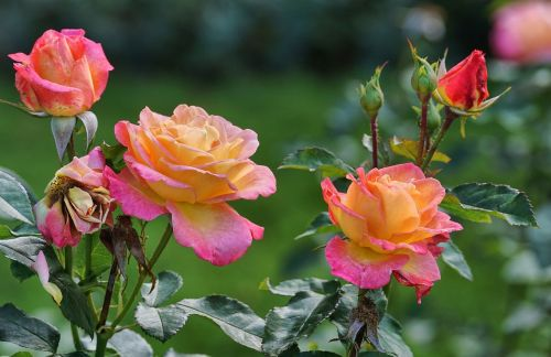 roses pink yellow