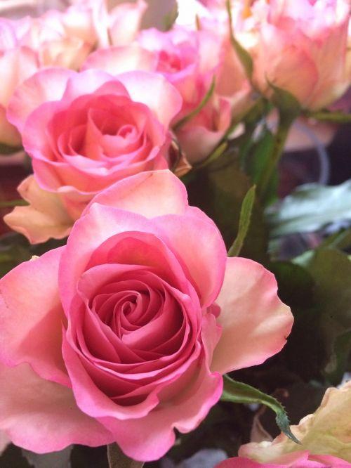 roses pink fl