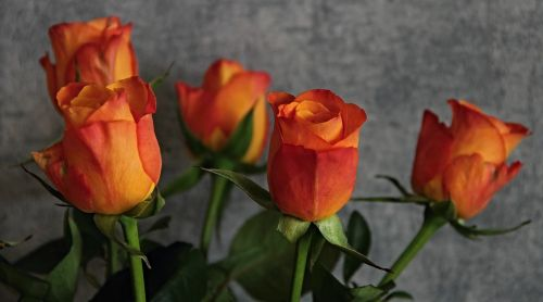 roses flowers orange