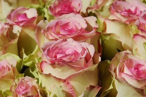 roses noble roses esperance roses