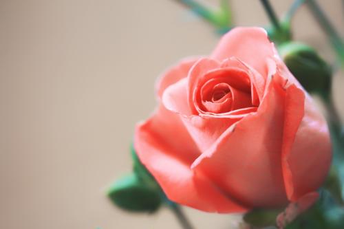 roses love flower