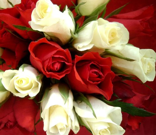 roses  red and white roses  flowers