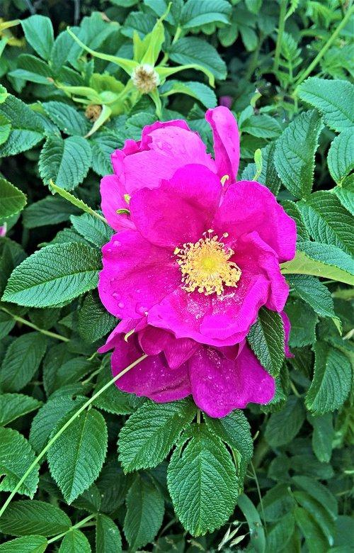 roses  wild rose  wild plant