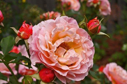 roses  garden roses  flowers