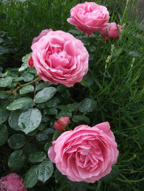 roses pink roses garden roses