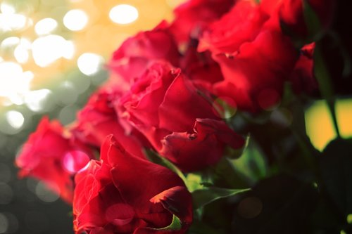 roses  flowers  romance