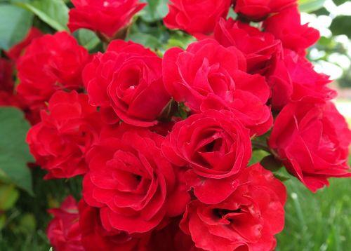 rožės,raudonos rožės,laukinės rožės,raudona,rožė,gėlė,gėlių,gamta,žiedas