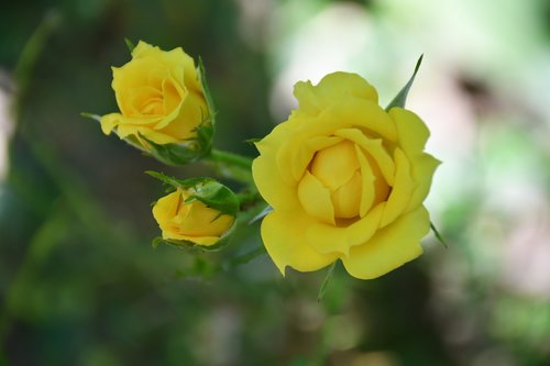 roses  yellow  flower