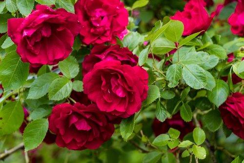 roses  flowers  petals