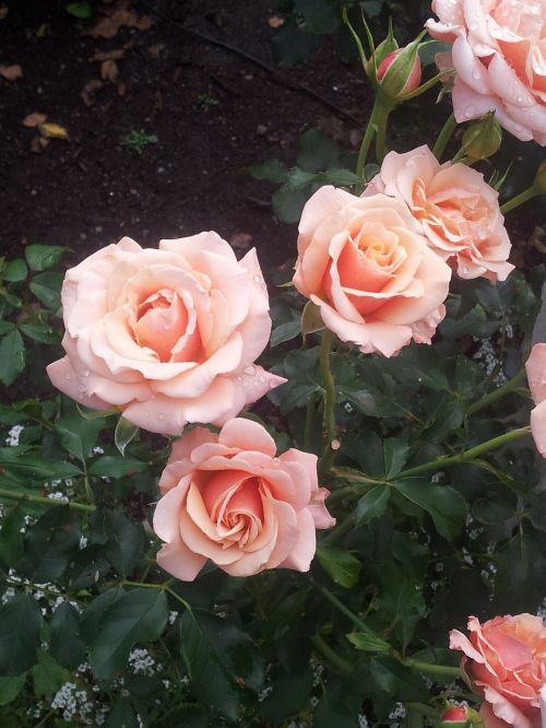 roses pink blossoms