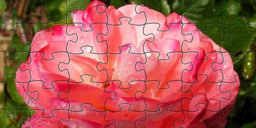 roses red flower