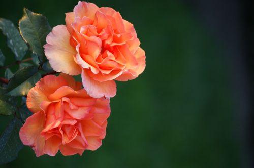 roses,salmon,nature,flower,plant,fragrance,blossom,bloom,rose bloom,fill,orange,beauty,decorative,summer,bloom,beautiful
