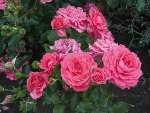 roses pink roses blossom