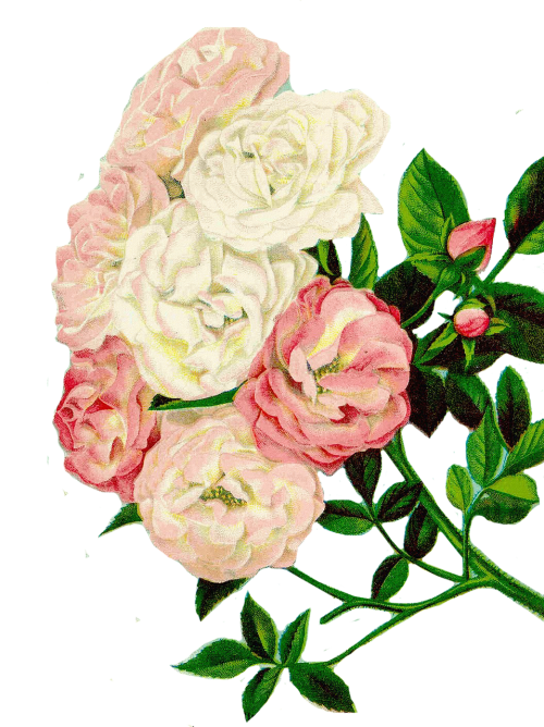 roses clipart floral clipart flowers