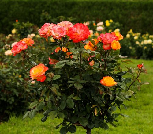 rosetree rose tree varigated roses
