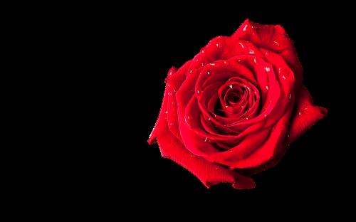 rosette red beauty