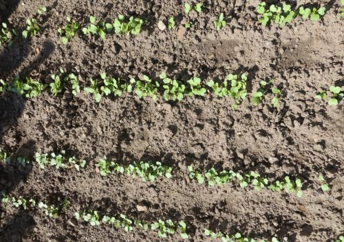 Grow Radishes