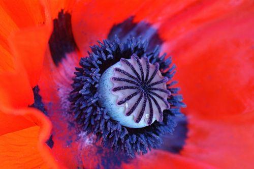aguona, raudona, makro, Iš arti, gamta, gėlė, raudona & nbsp, aguona, raudona aguona