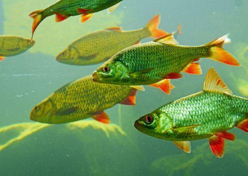 rotfeder karpfenfisch large aquarium