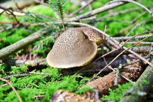 rotfußröhrling  rac  mushroom