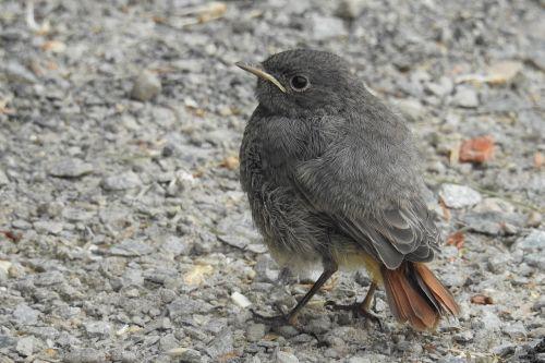rotschwaenzchen bird young bird