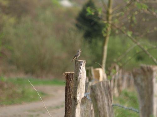 rotschwaenzchen bird small bird