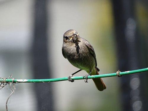 rotschwaenzchen  black redstart  bird