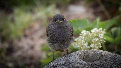 rotschwaenzchen  bird  black redstart