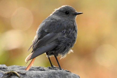 rotschwaenzchen  garden redstarts  bird