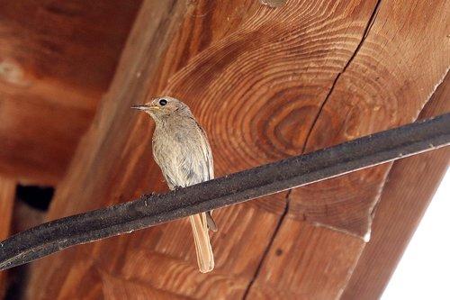 rotschwaenzchen  bird  songbird