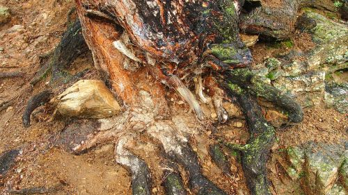 rotten tree tree roots cobwebs