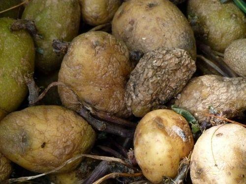 rotting potatoes food decay