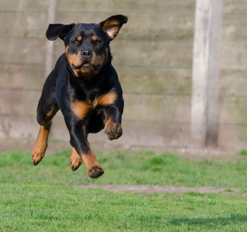 rottweiler running dog jump