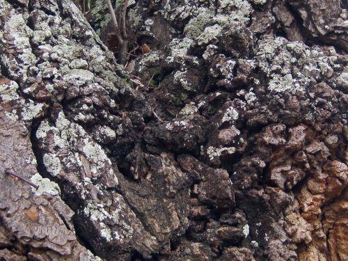 Rough Bark With Lichen