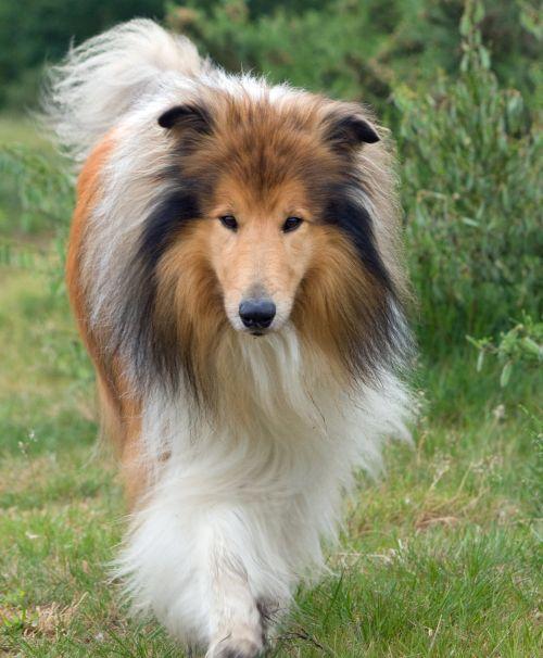 Rough Collie Dog