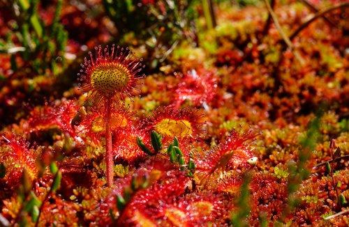 round-leaved sundew  sundew  drosera rotundifolia