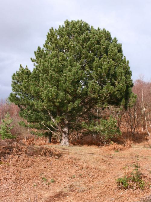 Rounded Fir Tree