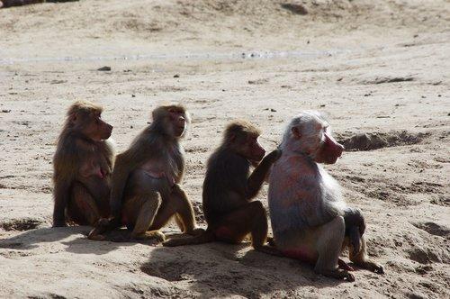 row of monkeys  monkeys  vlooiende monkeys