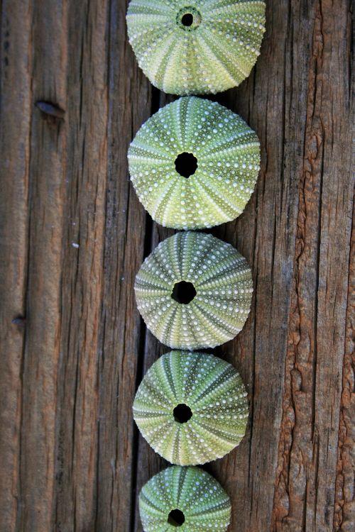 Row Of Sea Urchin Shells