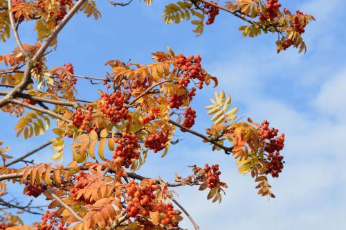 rowan rowan berries autumn