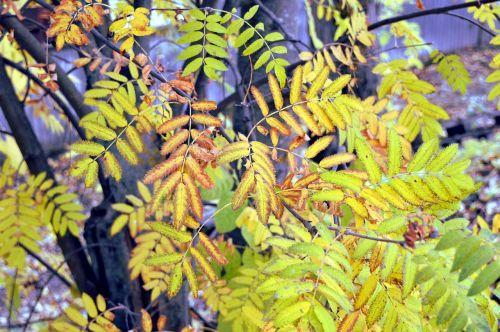 rowan autumn autumn leaves