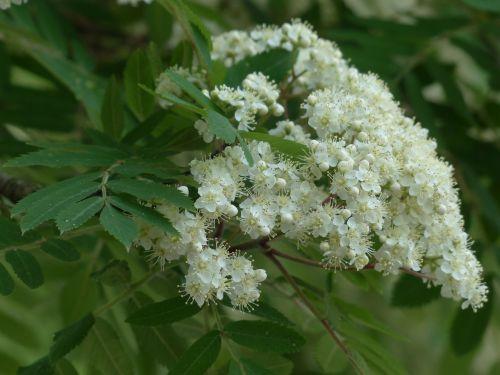 rowan mountain ash flowers
