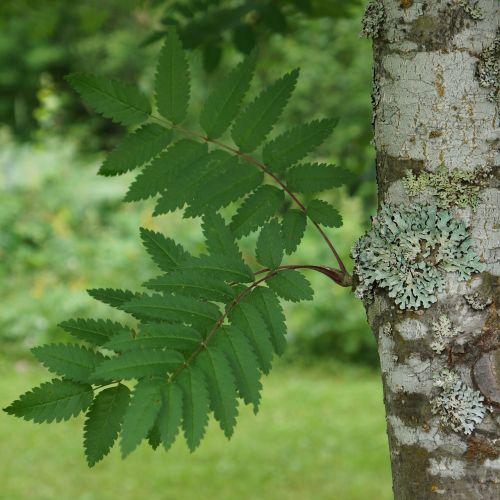 rowan sorbus deciduous tree