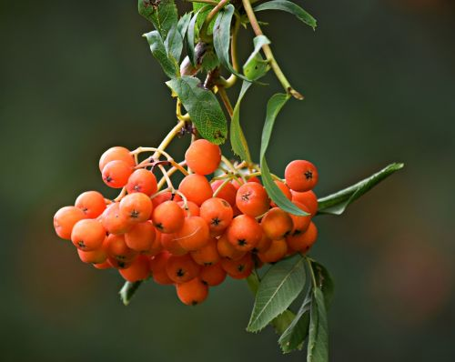 rowan tree nature