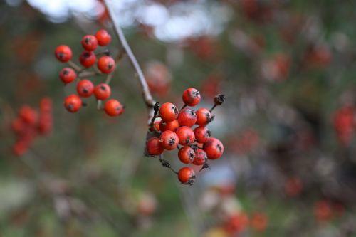 rowan autumn tree
