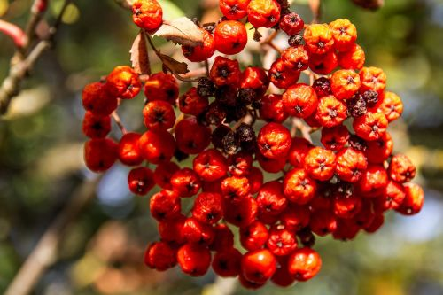rowan red fruit