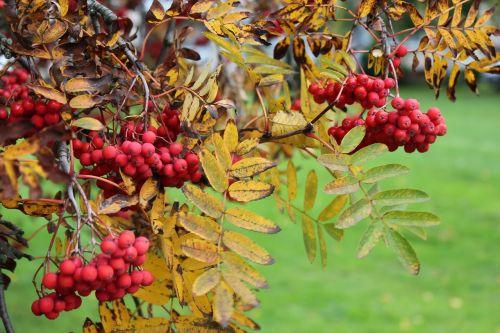 rowan autumn nature