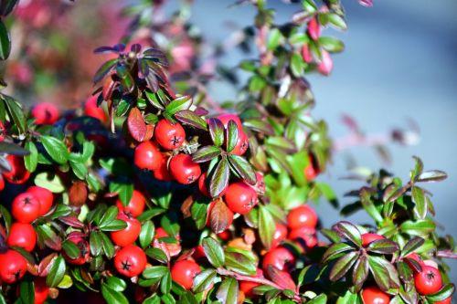 rowan mountain ash berries