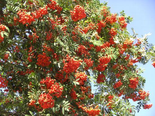rowan berries red